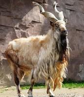 Kyrgyzstan national animal
