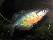 The Australian Rainbowfish