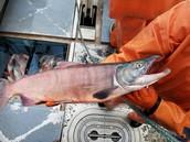 Salmon changing