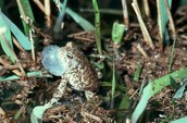 male toad