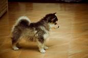 Mini Siberian Husky!