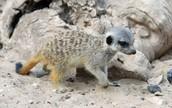 Meerkat Coloring