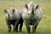 Rhinos are cute