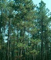 State tree: Longleaf Pine
