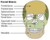 Bones of face
