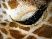 a giraffes eye