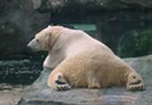 polar bears rest