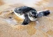 Characterics of the Hawsbill Turtle