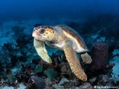 Loggerhead Sea Turtle: Critically Endangered