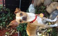 Kifaru -- 2 yr old, 7 lb Chihuahua Mix