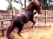 caballo  potro