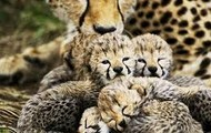 A mother cheetah and her cub
