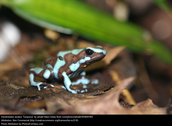 Poison frog A