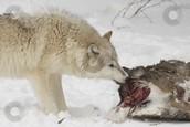 Eating elk