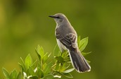 Texas' state bird is the Mocking Bird.