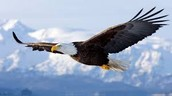 Why Eagles Almost Went Extinct