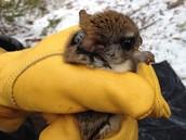 Radio-Collared Flying Squirrel