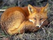 Bed fox