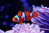 More on Clownfish