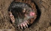 British Mole