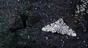 Black and White Peppered Moths