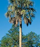 Tree- Sabal Palm