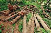 Why Orangutan's Are Endangered