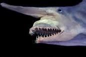 The Goblin Shark is a rare shark That lives deep in the sea