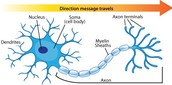 Nerves and Signals (Neurons)