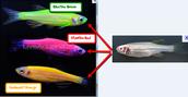 Zebrafish --> Glofish