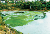 What is an algal bloom?