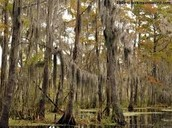 Trees(only in swamps)