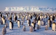 a grop of Emper penguins