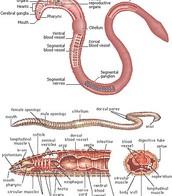 External/Internal Anatomy Diagram