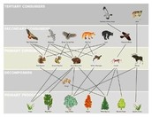 Food web of the Taiga