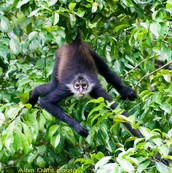 Spider monkey in leaves