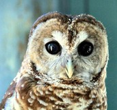 Mexican spotted owl-Trevor's animal