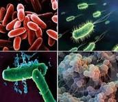 Bacterias, del reino de las moneras.