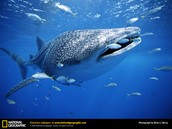 Whale consuming fish