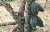 GROWING COCOA BEANS