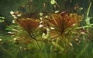 freshwater plant