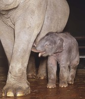 Picture of Baby Asian Elephant