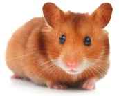 Interesting fact; About Hamsters?