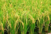 Rice one of our many crop's