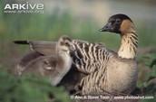 State Bird Gosling Goose