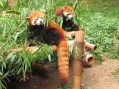 Red Pandas Feeding on Bamboo