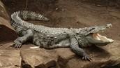 Krokodiloak