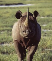 Rhinos can also be bad temperd