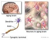Neurons in aging brain