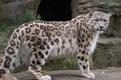 Se trata de un leopardo de las nieves femenina.